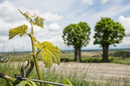 Two trees near road at vineyard