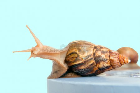 snail Achatina giant on the colorful background