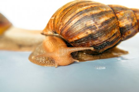 snail Achatina giant on white background