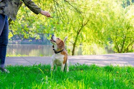 spring photo of beagle dog