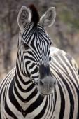 Zebra portrét v Etosha v Namibii