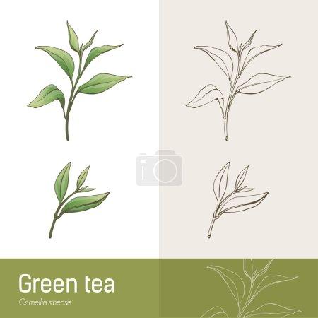 Cammelia sinensis plant botanical drawing, green t...