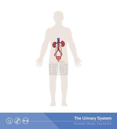 Illustration pour Illustration médicale du système urinaire humain avec organes internes - image libre de droit