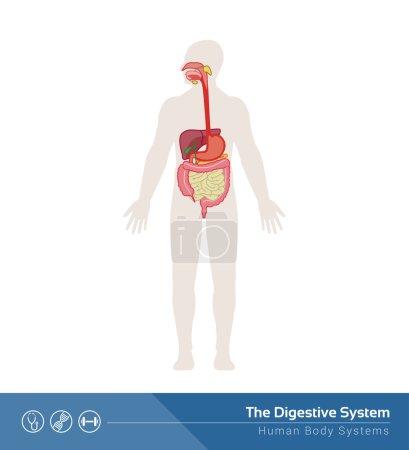 Illustration pour L'illustration médicale du système digestif humain avec des organes internes - image libre de droit