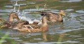 Kachny na řece Labe v létě