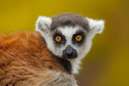 Portrait of Ring-tailed Lemur