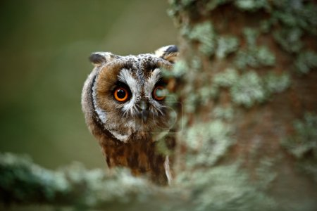Hidden portrait Long-eared Owl