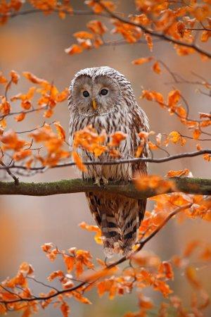 Grey Ural Owl