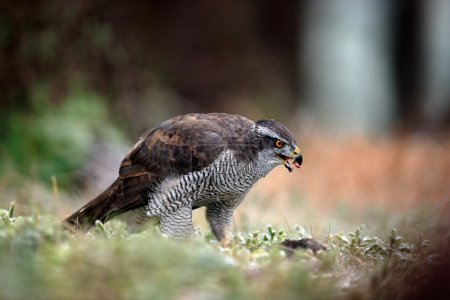 Goshawk bird of prey
