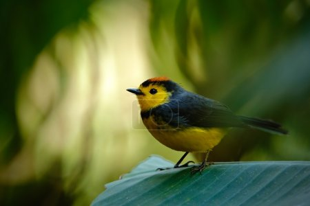 Yellow and red headed songbird