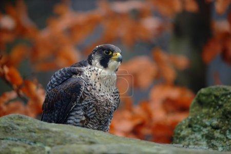 Bird of prey Peregrine Falcon