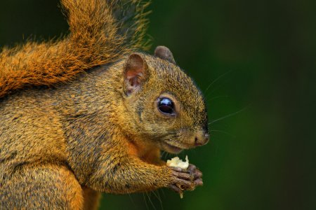 Variegated Squirrel  with food