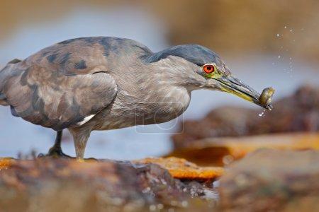 Grey water bird
