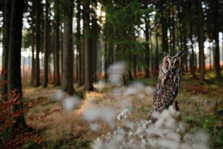 Long-eared Owl in habitat