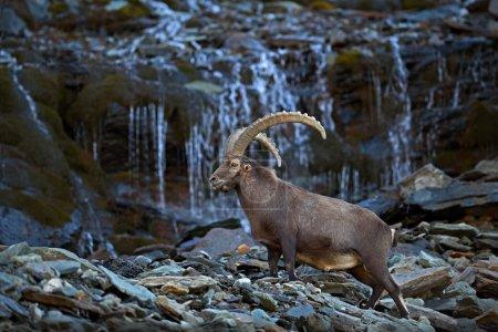 Antler Alpine Ibex