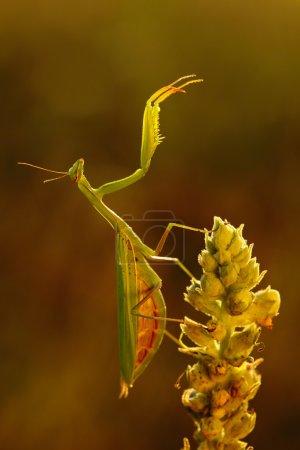Mantis on flower in beautiful evening sunlight