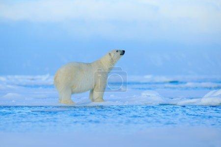 ours polaire sur la glace