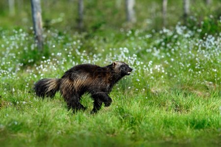 Running tenacious Wolverine