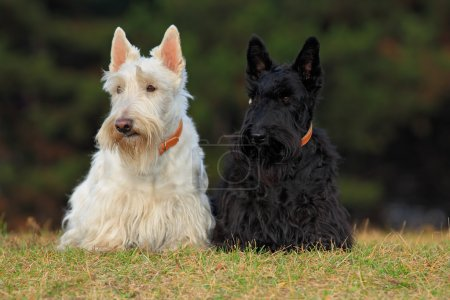 Pair of  scottish terriers