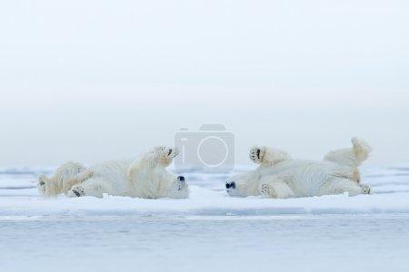 Two Polar bears lying