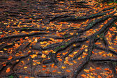 Roots with orange autumn leaves