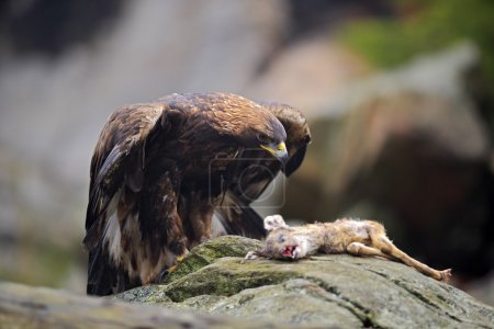 Golden Eagle feeding on kill Deer