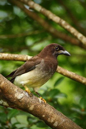 Brown Jay in the tree habitat
