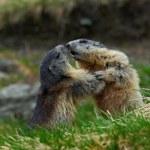 Fighting animals Marmot, Marmota marmota, in the g...