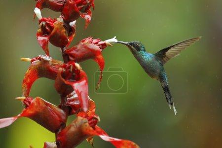 Hummingbird Green Hermit