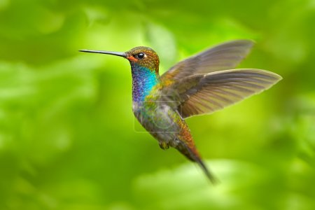 Hummingbird in flight, green forest nature habitat, White-tailed Hillstar