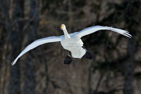 Flying white Swan