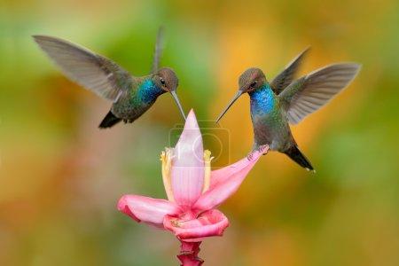 White-tailed Hillstar, Urochroa bougueri, two hummingbirds