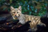 """Постер, картина, фотообои """"Дикая кошка в природе леса обитания"""""""
