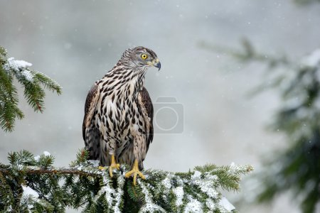 Photo for Bird of prey Northern Goshawk sitting oh the spruce branch with snow flake during winter - Royalty Free Image