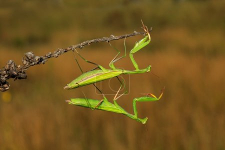 Two green  mantises on flower
