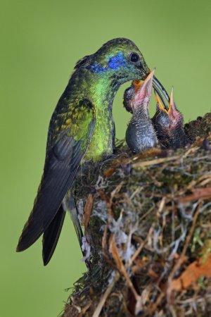 Adult hummingbird feeding two chicks