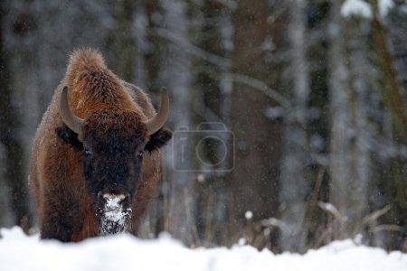 Photo pour Bison d'Europe dans la forêt d'hiver, scène froide avec gros animal brun dans l'habitat naturel, République tchèque - image libre de droit