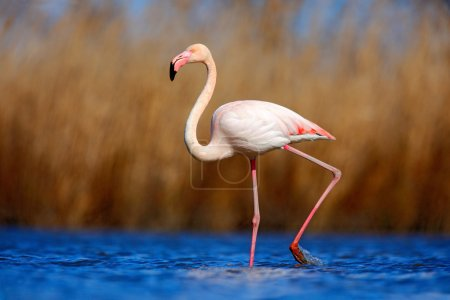 Photo for Greater Flamingo, Phoenicopterus ruber, beautiful pink big bird in dark blue water, with evening sun, reed in the background, animal in the nature habitat, Camargue, France - Royalty Free Image