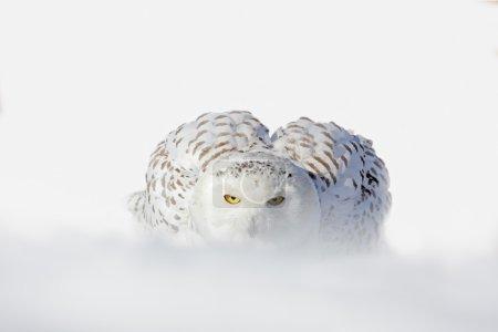 Snowy owl white rare bird