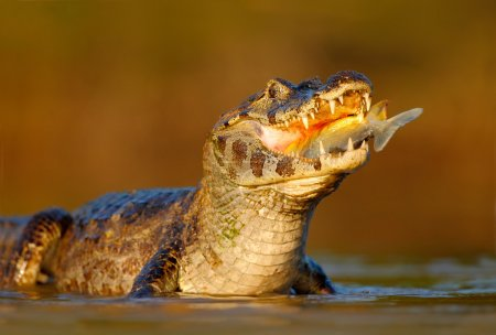 Crocodile with fish in mouth