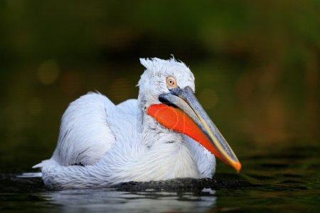 White Pelican in the dark water
