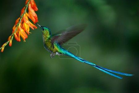 Hummingbird Long-tailed Sylph