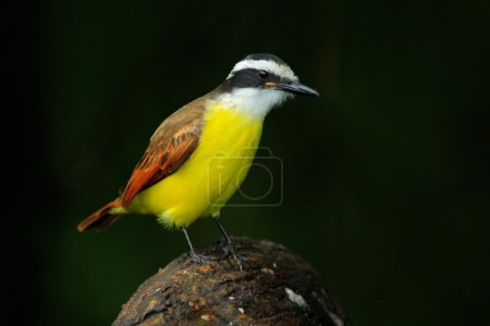 Great Kiskadee in nature habitat