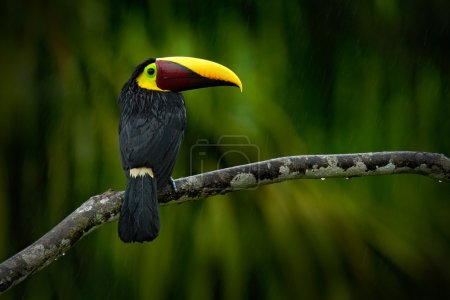 Chesnut-mandibled Toucan sitting on the branch