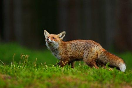 Photo pour En renard roux, Vulpes vulpes, verte forêt - image libre de droit