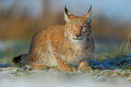 Eurasian Lynx on snow