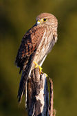 Common Kestrel little bird of prey