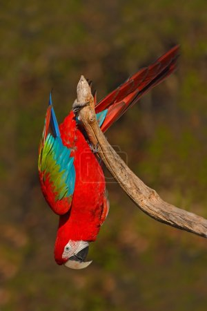 Big red parrot Red-and-green Macaw