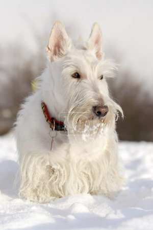 White scottish terrier