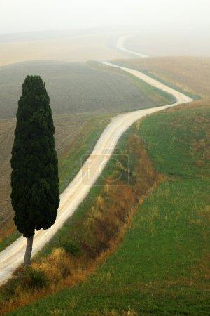 Solitary cypress tree